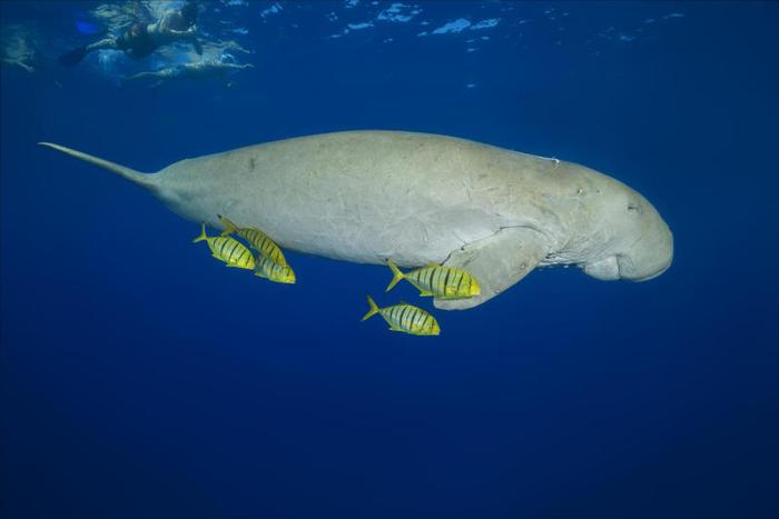 Quella sirena è un dugongo!