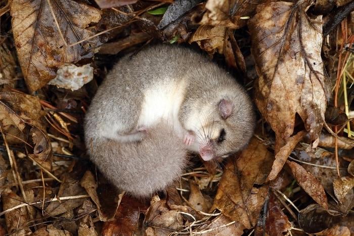 Animali in letargo: il ghiro