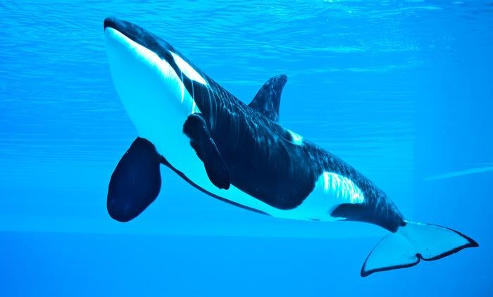 Un'orca assassina