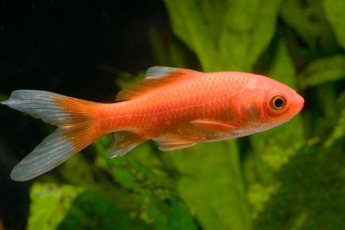 Il più presente negli acquari: ecco il pesce rosso!