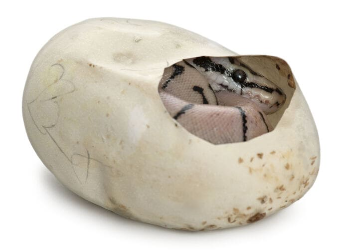 Pitone reale
