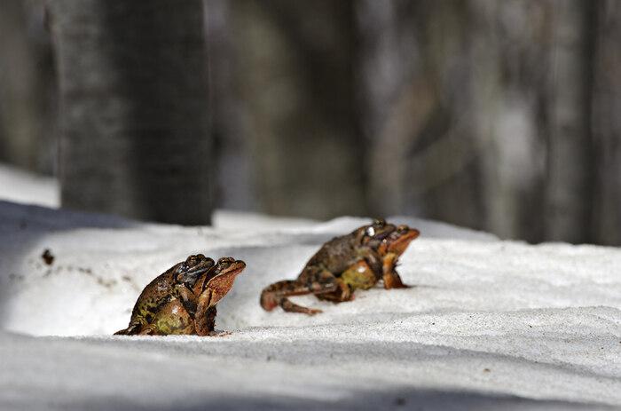 Un anfibio di montagna: la rana temporaria