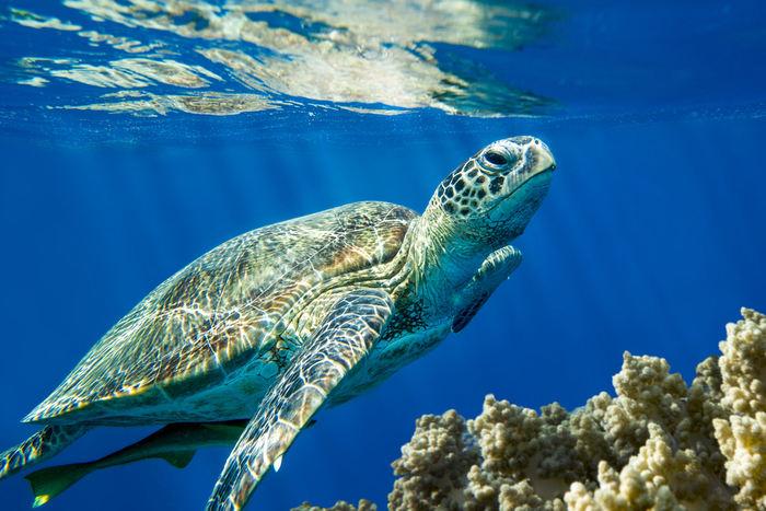 Conosciamo l'avventurosa tartaruga di mare (Caretta Caretta)