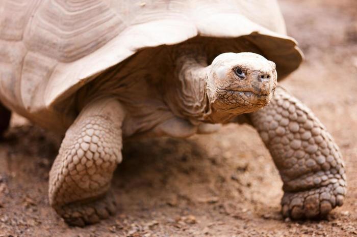 """Il rettile """"immortale"""": la testuggine gigante delle Galapagos"""