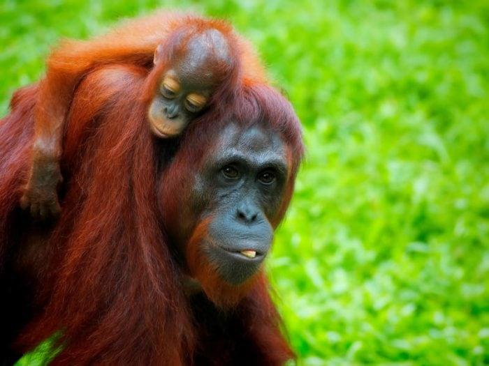 L'Orango del Borneo, una vita tra gli alberi