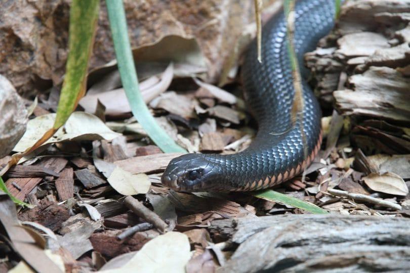 Qual è il serpente più velenoso del mondo?