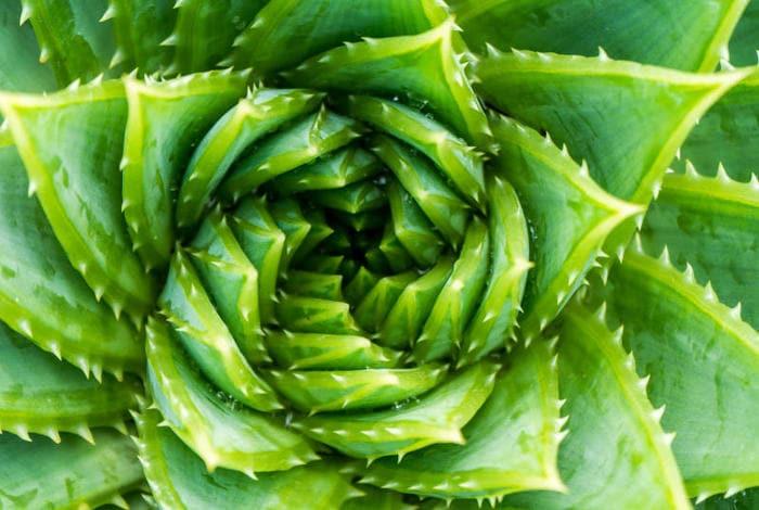 9 Interessantissime Curiosità Sulle Piante Grasse Focus Junior