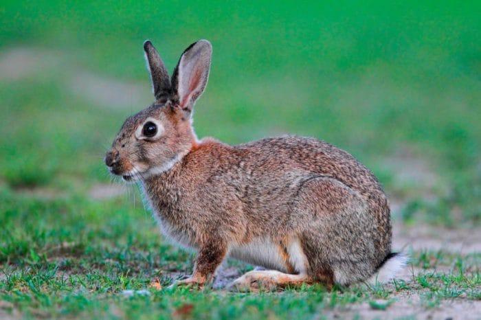 Lo sapevi che | Cinque curiosità sui conigli