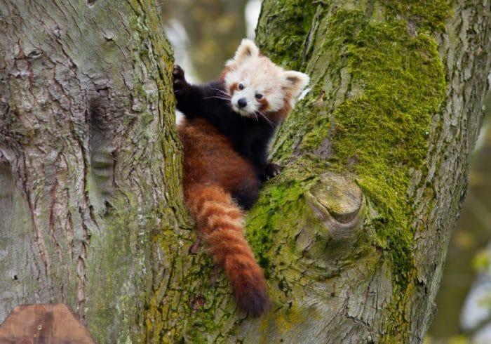 Panda rosso | Fatti e curiosità!