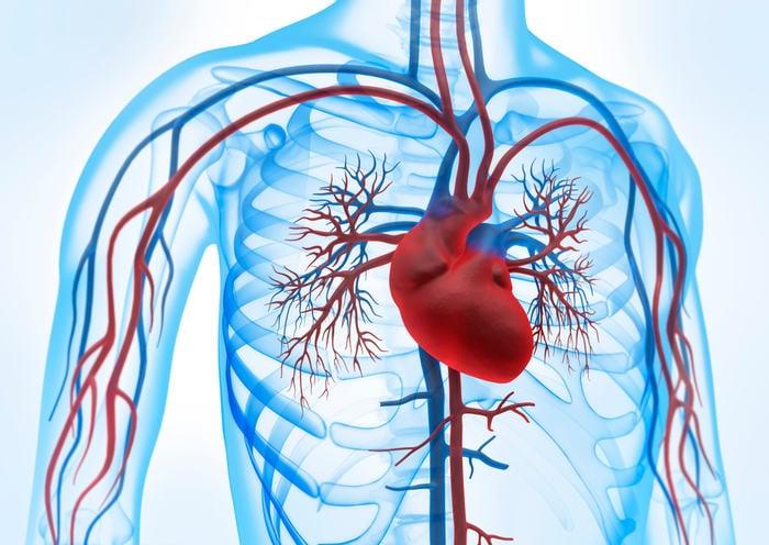 Alla scoperta del corpo umano: il cuore