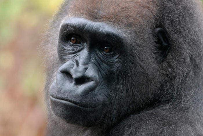Gorilla: un gigante in pericolo