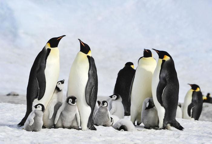 10 curiosità sul pinguino imperatore