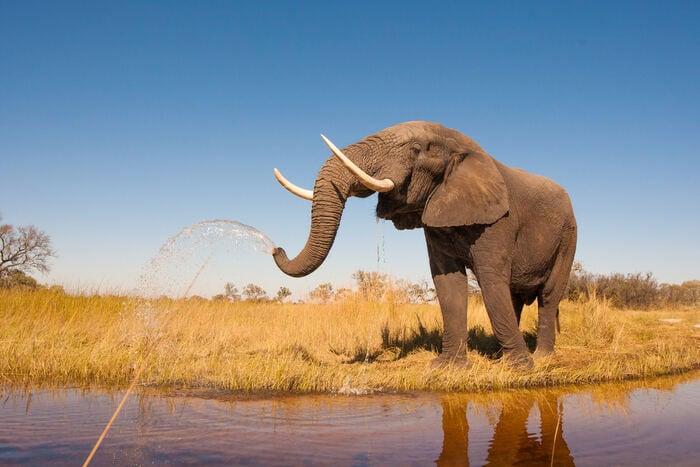 Elefante africano, il vero re della savana