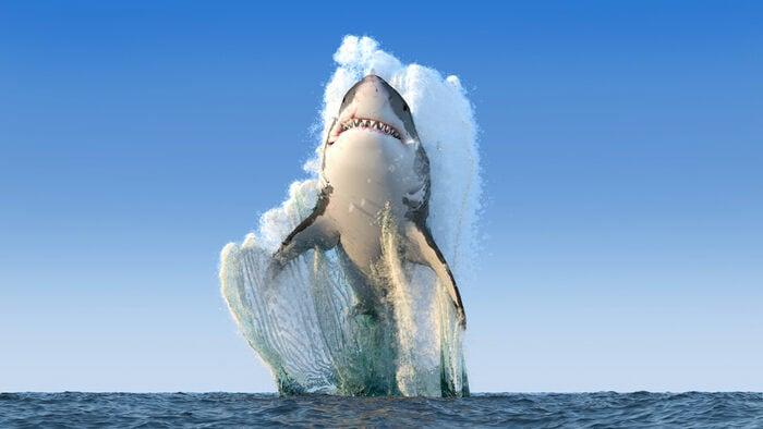 Nato per cacciare: lo squalo bianco