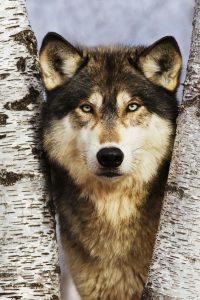 Lupo grigio (Canis lupus)