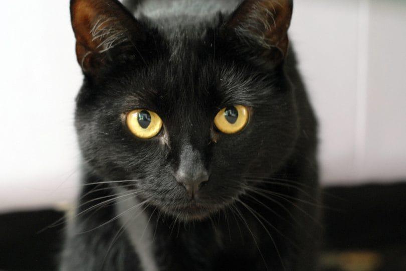 Perché gli uomini non hanno gli occhi gialli come i gatti?