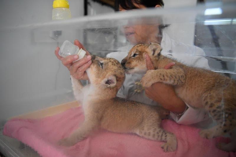 Cina, Cuccioli di leone gemelli.