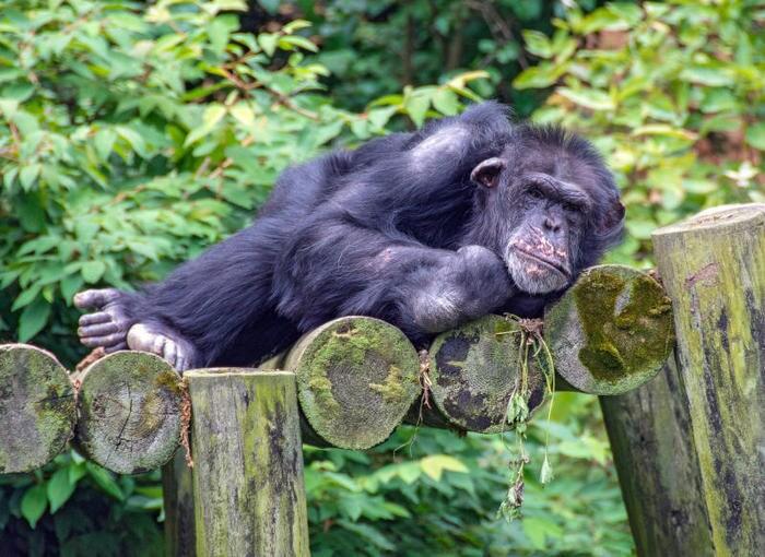I letti degli umani? Sono più sporchi di quelli degli scimpanzé!