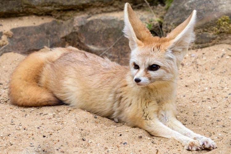 Il Fennec: la volpe del deserto