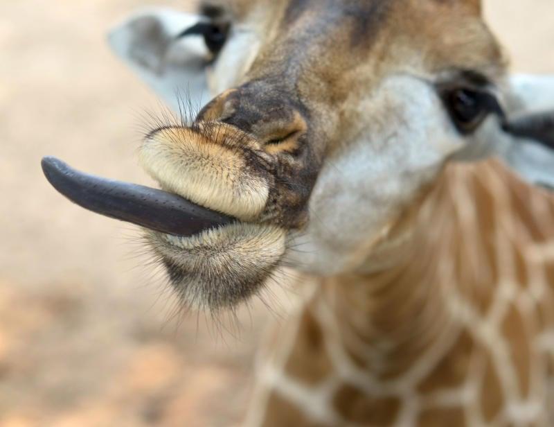 Che verso fa la giraffa?