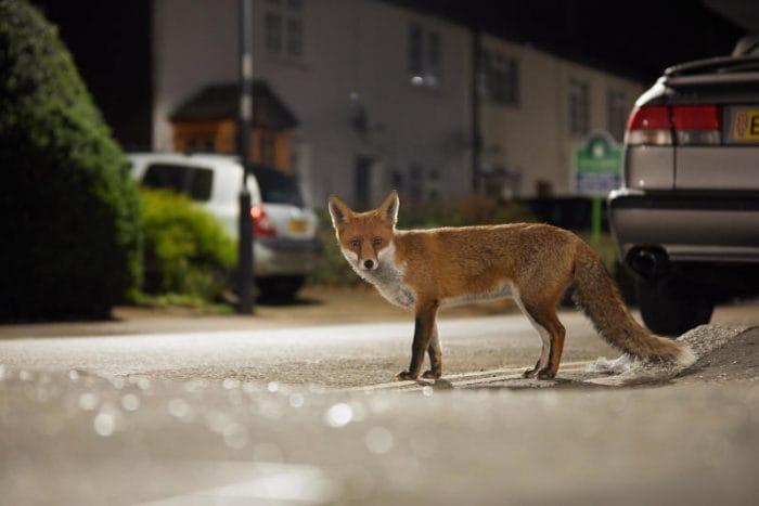 I mammiferi stanno diventando notturni per evitare il contatto con l'uomo!