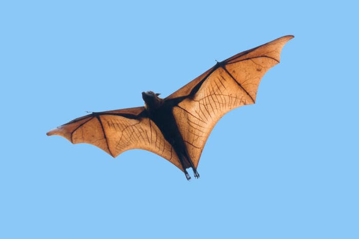 Tecnologia e natura: ecco il drone pipistrello!