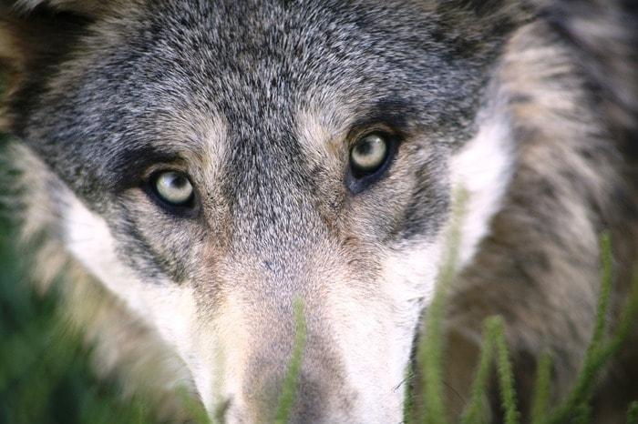 Junior reporter, intervista immaginaria al lupo Zannanera