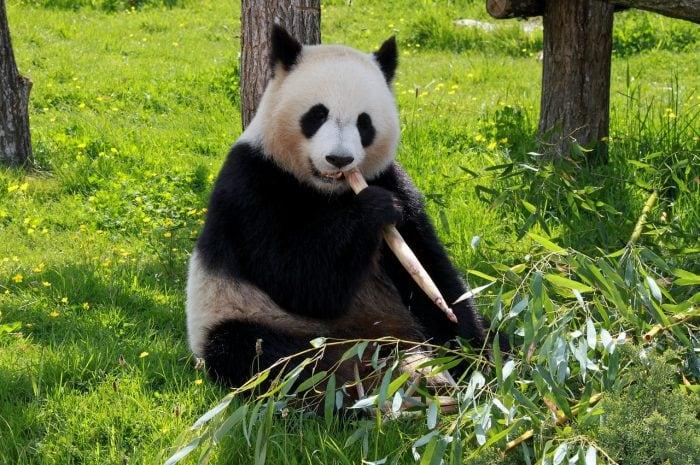 Cina: il DNA rivela l'antico cugino del panda gigante!