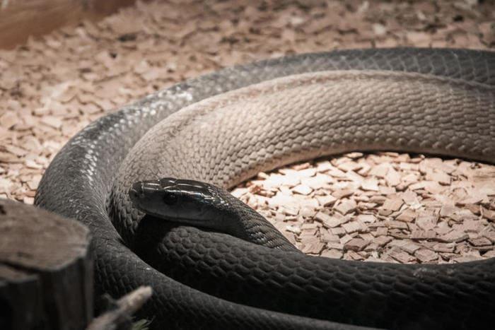 serpenti più velenosi