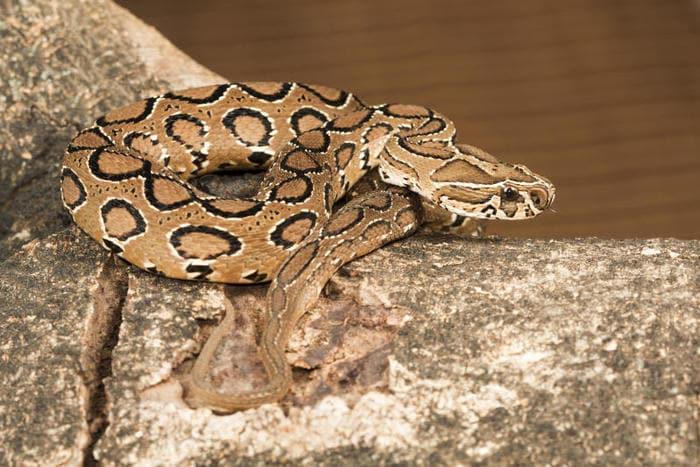 I 10 serpenti più velenosi e letali del mondo