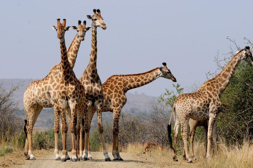 21 giugno: è la Giornata Mondiale della Giraffa!