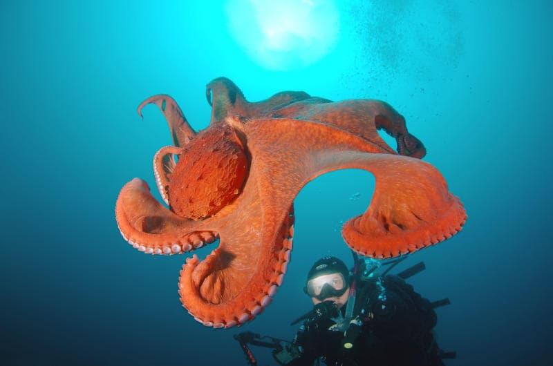 I polpi, creature marine misteriose ed intelligenti