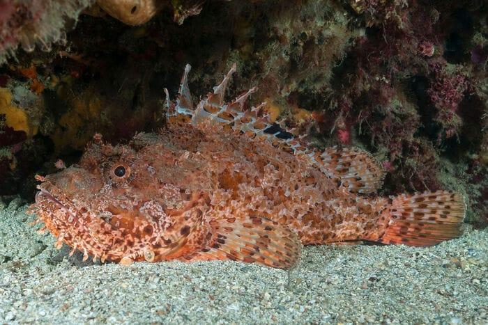 Lo scorfano rosso, un pesce mimetico