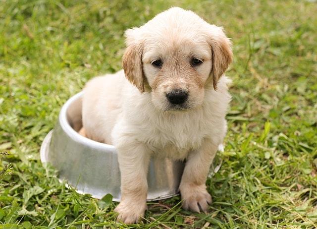 I cuccioli di cane imparano di più dai cani e dagli umani grandi
