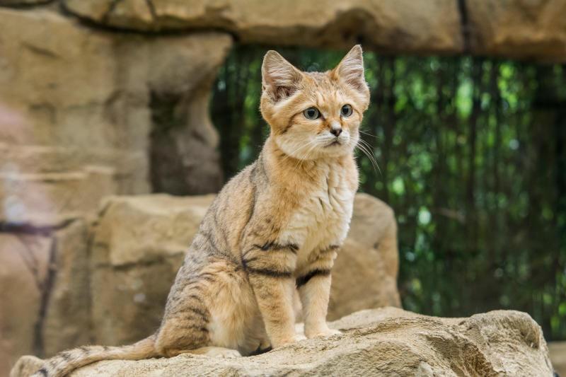 Il misterioso gatto delle sabbie
