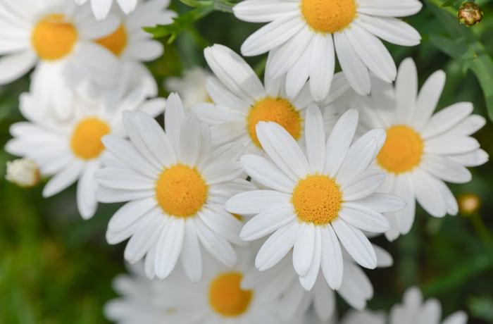 Lo sapevi che: la margherita non è un fiore?