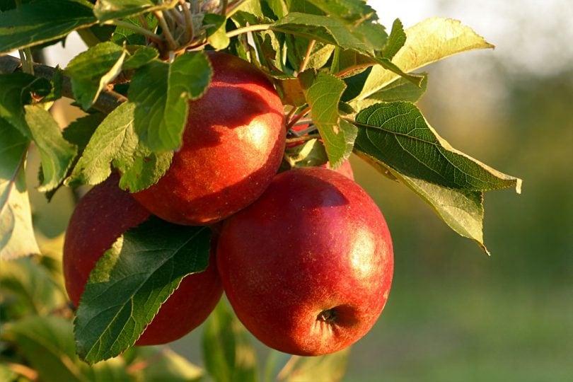 Perché la mela non è un frutto?