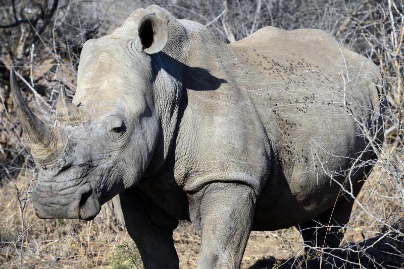 Riprodotti in Italia i primi embrioni di rinoceronte bianco!