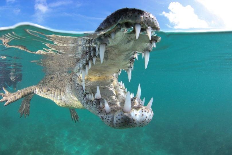 Nella bocca del coccodrillo: le foto