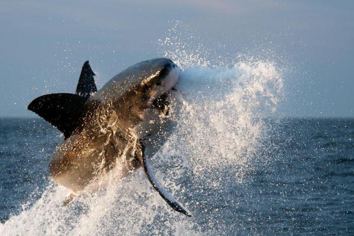 Le incredibili immagini dello squalo bianco che salta per catturare la preda! (Gallery)