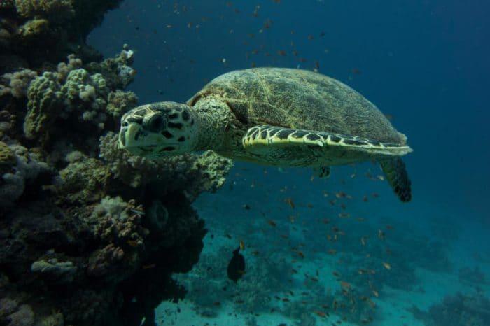 L'incredibile viaggio della tartaruga Caretta!