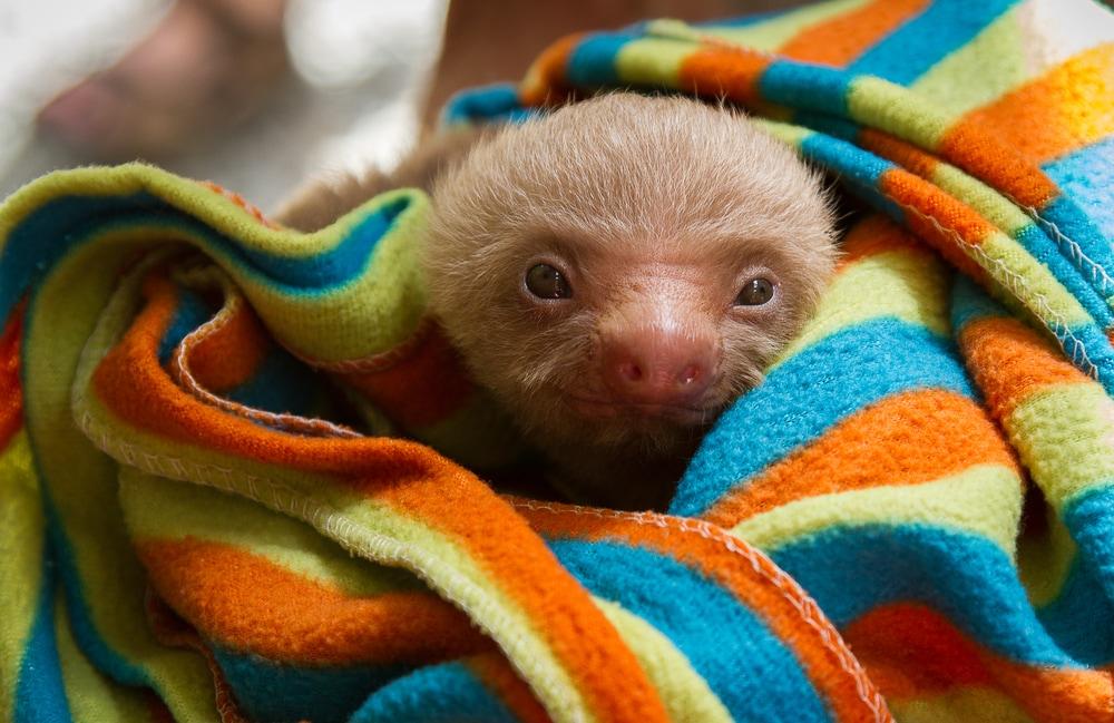 10 foto di baby bradipi che ti strapperanno un sorriso