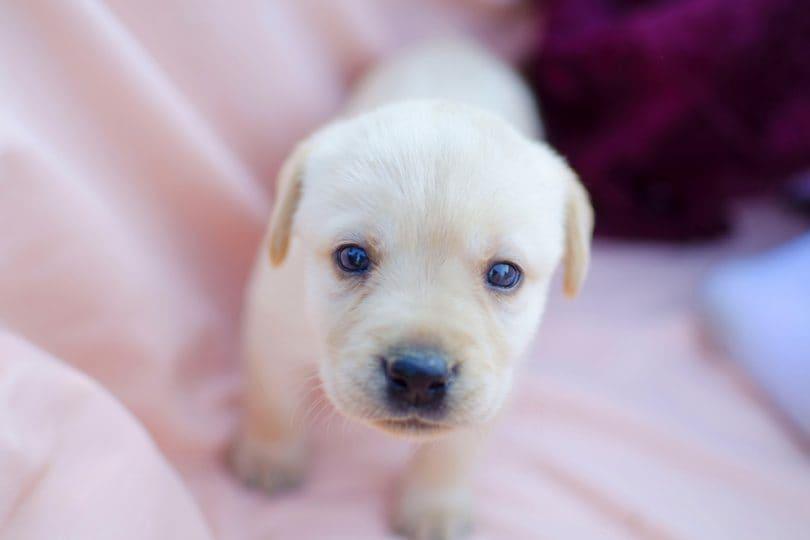 Immagini dolcissime di cuccioli di labrador