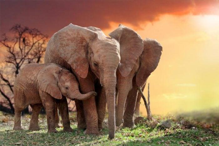 Un gene zombie difende gli elefanti dai tumori