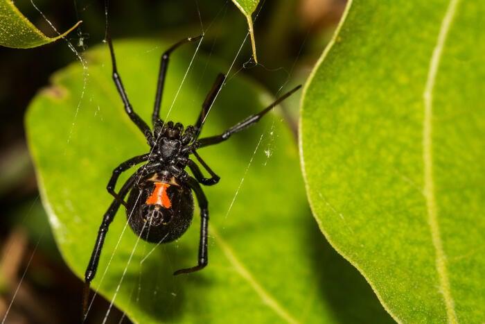 La vedova nera,il ragno dal morso terribile