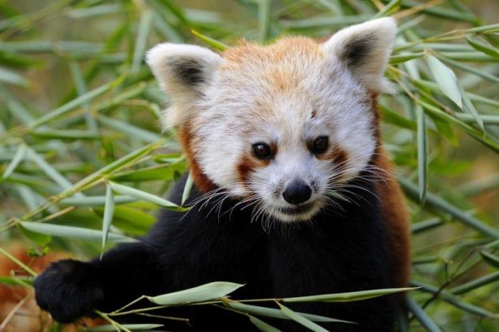 S.O.S panda rosso: l'estinzione è sempre più vicina!