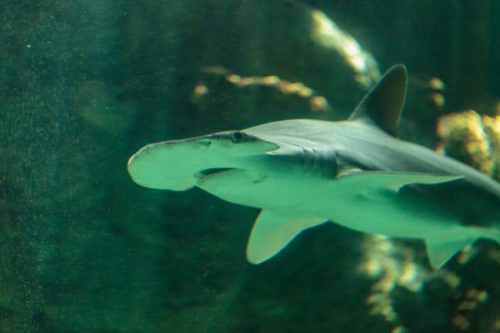 Scoperto lo squalo onnivoro che mangia anche le alghe!