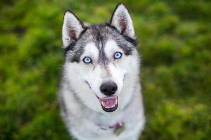 Husky e occhi azzurri: il segreto è nel DNA!