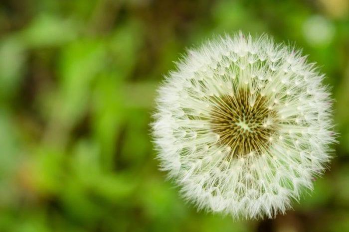 """Meraviglie della natura: un vortice """"autoprodotto"""" fa volare i semi del tarassaco"""