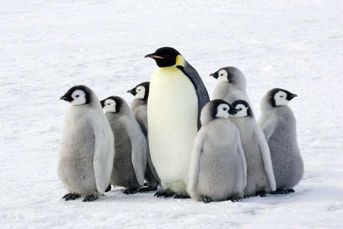 Una troupe di documentaristi salva un gruppo di pinguini, ma non tutti sono d'accordo…